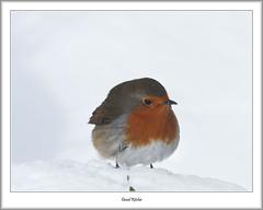 Robin In The Snow (flatfoot471) Tags: 2018 bearsden bird eastdunbartonshire february nature normal robin scotland unitedkingdom winter gbr