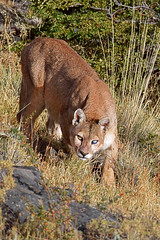 Stalking (Spectacle Photography) Tags: puma wildlifewatching wildlife welshphotographer photography photographs photooftheday mountainlion cougar pumaconcolorconcolor concolor pumaconcolor patagonia chileanpatagonia chile torresdelpaine torresdelpainenationalpark parquenacionaltorresdelpaine