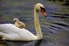 Cygnets_DSC4313 (adventure_photography) Tags: cygnets swan swans ambleside pond