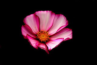 IMGP0175 Cosmos Daisy
