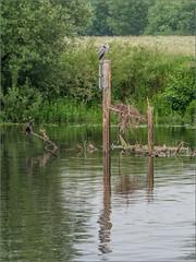 The River Trent near Attenborough (Phil McIver) Tags: rivertrent attenborough cormorant greyheron nottinghamshire