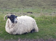 This is my best side I'm told ! (miss gecko) Tags: scotland sheep