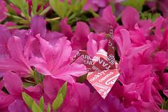 Paper Crane and Azalea (Eridanus 21) Tags: ツルとツツジ azalea origami おりがみ ツル 折り紙 折り鶴 ツツジ paper おりがみ写真 origamiphoto flower plant 花写真 flowerphotoツツジ papercrane