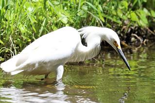 Egretta thula Snowy Egret