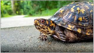 Eastern Box Turtle (male) 20180611_183320