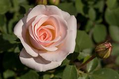 Pink rose (gdajewski) Tags: d750 dajewski nikond750 sb900 schenectadyrosegarden tokina100mmf28atxm100afprodmacro closeup flash gdajewski macro rose rosegarden roses speedlight