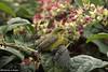 41349 Olive-backed Sunbirds (Cinnyris jugularis) with a juvenile seeking attention on an adult female in an urban garden in Ipoh, Perak, Malaysia. IUCN=Least Concern. (K Fletcher & D Baylis) Tags: animal wildlife fauna bird sunbird olivebackedsunbird passerine passeriformes nectariniidae cinnyrisjugularis leastconcern nectar urban garden ipoh perak malaysia asia june2018