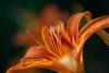 Lily (sergtrav) Tags: lily flower macro pollen stamens