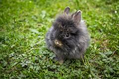IMGP6878 (leroypierrick) Tags: allier animaux auvergne france jardin lapin maison malicorne minnie rabbit