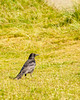 Lossie-180528-5285330.jpg (mike_reid.5710) Tags: morayfirth lossie crow wildlife birds scotland lossiemouth unitedkingdom gb