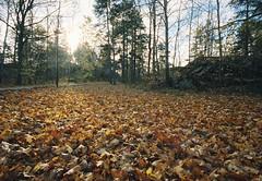 Nedfallna löv i motljus