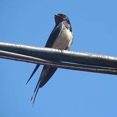 Swallow (_jons_) Tags: naturephotography nature wildlife wildlifephotography birdingphotography birding birds birdwatching birdphotography