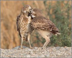 Bugs for Breakfast 9463 (maguire33@verizon.net) Tags: bird burrowingowl owl owlet parenthood wildlife