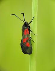 Narrow-bordered Five-spot Burnet (Zygaena lonicerae) (eerokiuru) Tags: narrowborderedfivespotburnet zygaenalonicerae aasaverikireslane moth p900 nikoncoolpixp900 raynoxdcr250