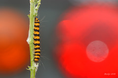 IMG_012381 - A colorful morning (Monique van Gompel) Tags: caterpillar rups sintjacobsvlinder cinnabarcaterpillar tyriajacobaeae cinnabarmothcaterpillar butterfly macrofotografie macrophotography nature naturephotography natuurfotografie canoneos80d tamronsp90mmf28dimacro11vcusd