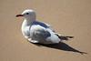 Seagull (iansand) Tags: deewhy seagull silvergull beach
