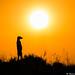 Meerkat Silhouette (Will Burrard-Lucas | Wildlife) Tags: bwa