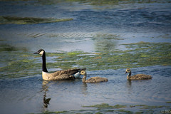 Canadian Geese (mike_sylvester@ymail.com) Tags: birds wildlife new jersey sony sonya6000 birding photography atlanticcity a6000