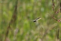 923B9357 (event-photos4dreams (www.photos4dreams.com)) Tags: gersprenz münster hessen germany naturschutz nabu naturschutzgebiet photos4dreams p4d photos4dreamz nature river bach flus susannahvictoriavergau susannahvvergau eventphotos4dreams canoneos5dmark3 libelle dragonfly damselfly