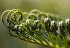 unfurling little leaflets (MyArtistSoul) Tags: young palm leaf frond curled leaflets unfurling curves hairy green yellow nature closeup macro 5509 macromondaysallnatural