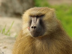 Baboon (10) (Simon Dell Photography) Tags: baboon baboons monkeys cute funny babys young male female adults yorkshire wildlife park doncaster uk england spring day images high res animals zoo captive rare wild life simon dell photography tog 2018 may sunny detail