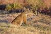 Bobcat (wlb393) Tags: bobcat lynxrufus wildcat mammal livermore s8s0975