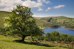 Bank Holiday Picnic (Christian Hacker) Tags: meldonreservoir dartmoor nationalpark uk lake water reservoir meldon hawthorntree moorland sheep resting picnic sunny sunshine bankholidayweekend may canon eos50d tamron 1750mm grass whiteclouds puffy landscape island inbloom flowering nature outdoors rhododendrons tor hill shadow gorse shade scenicview devon