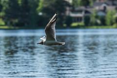 Gull (Jontsu) Tags: gull lokki suomi finland bird lintu nature luonto nikon d7200 70200