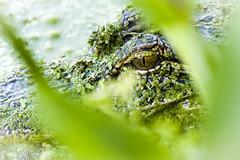 Watching (Front Range Dad) Tags: gator alligator wildlife reptile