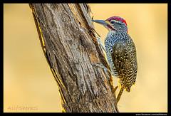 Beauty of The Nature (asifsherazi) Tags: nubianwoodpecker lakebaringo kenya asifsherazi tumbilicliff wildlife pakistaniwildlifephotographer bird backlightedimage backlit