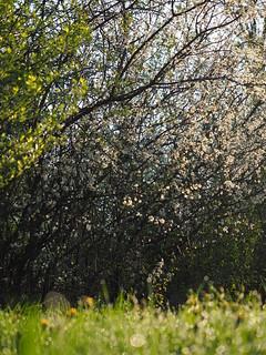 Prunus Spinosa Spring Meadow Pasture Nature Germany Bavaria Countryside © Schlehe Hecke Frühling Wiese Bayern Oberbayern ©
