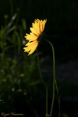Coréopsis à oreilles coreopsis auriculata   (2) (Ezzo33) Tags: france gironde nouvelleaquitaine bordeaux ezzo33 nammour ezzat sony rx10m3 parc jardin fleur fleurs flower flowers jaune yellow coréopsis oreilles coreopsis auriculata à