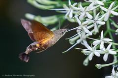 Macroglossum sp. (57Andrew) Tags: hongkong hawkmoth harlechroad thepeak macroglossumpassalus hkmoths lepidoptera
