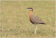 Indian Courser (Aravind Venkatraman) Tags: av aravindvenkatraman birds birdsofindia indianbirds indian courser indiancourser cursorius coromandelicus cursoriuscursorius