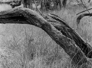 Broken and still growing (Hyons Wood)