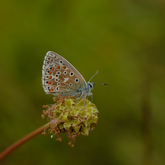 Adonis Blue (microwyred) Tags: events blackcolor nature flower lepidoptera insect beautyinnature animal selseycommonglos animalantenna wildlife summer macro butterflyinsect butterfly multicolored greencolor adonisblue outdoors closeup plant yellow springtime animalwing