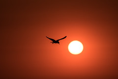Great or kitschy? / Langeoog (jkiter) Tags: deutschland langeoog sonne sonnenuntergang availablelight tier möwe vogel nordsee natur animal bird dusk germany nature sunset northsea seagull