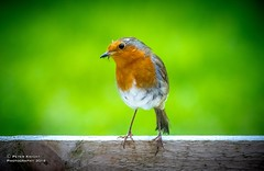 Brand New Robin (Laughing Lad) Tags: robin red breast wildlife garden