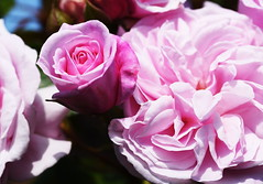 DSC_0170 (PeaTJay) Tags: nikond750 sigma reading lowerearley berkshire macro micro closeups gardens outdoors nature flora fauna plants flowers rose roses rosebuds