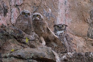 IMG_6556 great horned owl and owlets