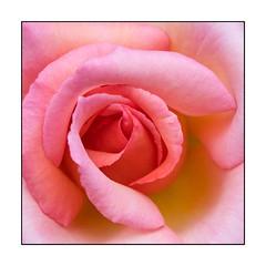 44/100x (neals pics) Tags: 100xthe2018edition 100x2018 image44100 my100x–squareformat flower flora fleur rose rosa pink delicate summer iconic petals pastel abbeygardens garden nature natural colour color