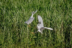 Fighting egrets (Steve Ln) Tags: brandonmarsh egrettagarzetta littleegret