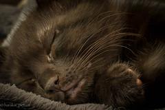 chuuuut bébé dort (harakis picture) Tags: cat chat sleeping