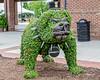 Bulldog Topiary (augphoto) Tags: augphotoimagery bulldog creative outdoors plants sculpture topiary unique unusual greenwood southcarolina unitedstates