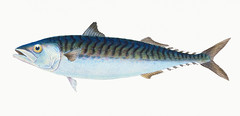 Mackerel (Scomber Scomber) illustration from The Natural History of British Fishes (1802) by Edward Donovan (1768-1837). Digitally enhanced from our own original edition. (Free Public Domain Illustrations by rawpixel) Tags: greatbritain otherkeywords animal antique aquatic artwork britain british britishfish cc0 colored drawing edonovan edwarddonovan fish fishing handdrawn illustrated illustration isolated isolatedonwhite mackarel mackerel marine marinelife nature ocean pictorialworks publicdomain scomber scomberscomber sea seawater tags thenaturalhistoryofbritishfishes uk vintage whitebackground
