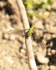 """Bright Green Dragonfly 7 (Tynan Phillips) Tags: nature nikon nikond90 d90 dslr canada bc """"britishcolumbia"""" denmanisland dragonfly dragonflies insect insects bug bugs animals wildlife macro green """"erythemiscollocata"""" """"westernpondhawk"""""""
