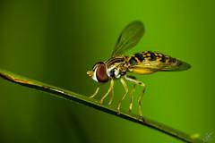 Aterrizando Syrphidae (carlosbenju) Tags: naturaleza nature verde green macros macro macrofotografia macrophotography macrodreams macrobug macroinsecto macroinsect macroinnature macrofotografía insecto bee aveja wasp avispa mosca fly