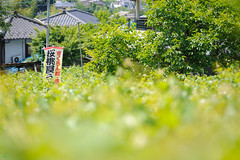 20180602-DS7_7152.jpg (d3_plus) Tags: aiafzoomnikkor80200mmf28sed d700 street 日常 walking garden 庭園 cherry 山梨県 sky park 風景 streetphoto spring nikon 果樹園 flower 8020028 koshucity 散歩 plant scenery 80200 ストリート 農園 甲州市 屋外 thesedays さくらんぼ 路上 望遠 自然 fruit japan tele 80200mmf28d telephoto dailyphoto 80200mm earlysummer 80200mmf28 ガーデン 果物 daily 桜 outdoor 路上写真 orchard 植物 80200mmf28af yamanashipref 春 花 ウォーキング nikond700 景色 初夏 nature farm 公園 日本 bloom ニコン nikkor 空