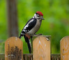 Great Spotted Woodpecker (John R Woodward Photography) Tags: woodpecker thegreatspottedwoodpecker birds british nature mothernature natureatitsbest colourful canon canondslr canoneos canonllenses canon5dmarkiv llenses