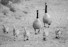 March of the goslings (ashokboghani) Tags: geese goslings blackandwhite monochrome cranberrybog carlisle massachusetts spring